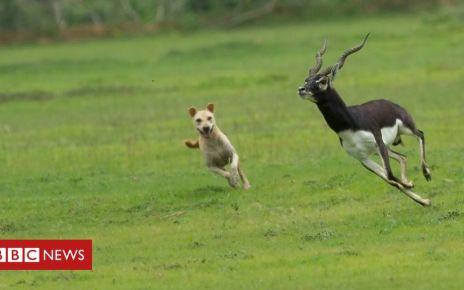 105540533 blackbuck vetnoi - Dogs' becoming major threat' to wildlife