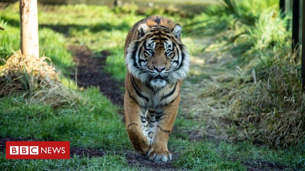 105571375 052002204 - Tiger killed by new mate at London Zoo