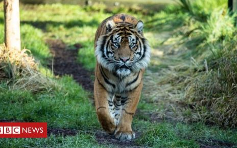 105571375 052002204 - Tiger killed by new mate at London Zoo