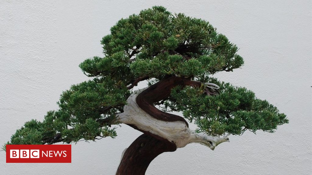 105609860 gettyimages 105966346 - Plea issued to thieves of ancient bonsai
