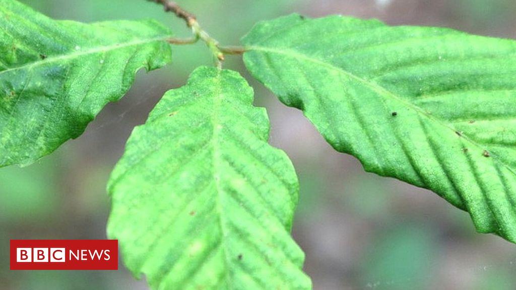 105661190 ewing latesymptoms pa - Mystery disease killing beech trees