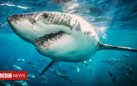 105702604 shark976 - Shark DNA could help cure cancer and age-related illnesses in humans