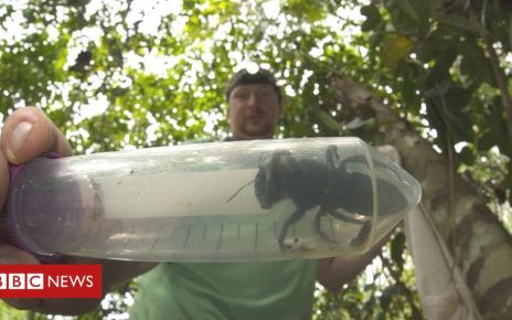 105736225 cbolt - World's biggest bee found alive