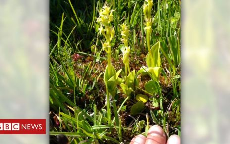 105752783 fenorchid - Pendine project in bid to bring rare orchid to firing range