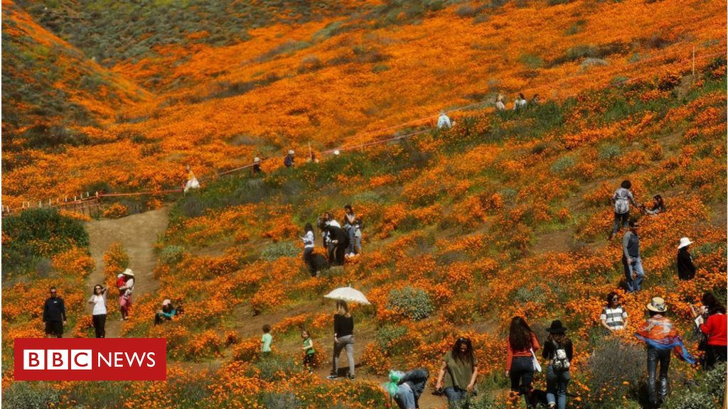 106078503 gettyimages 1135492884 - Super bloom tourists cause small town 'safety crisis'