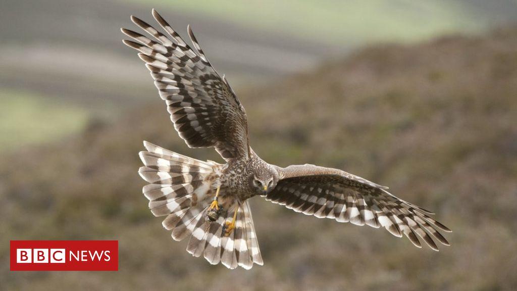 106086069 c0414427 hen harrier adult female in flight spl - Hen harriers 'vanishing due to illegal killing' - study