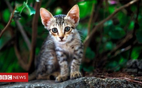 106204791 gettyimages feralcat - Should we kill cats and rats to stop extinctions?