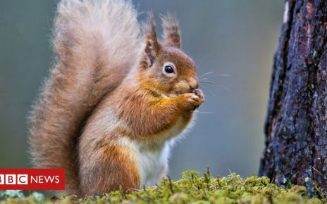 106214358 squirrel - Scientists to study relocated red squirrels' hair