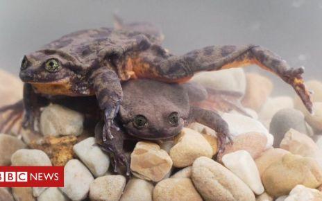 106230970 mediaitem106230969 - Rare Sehuencas water frogs' first date footage released