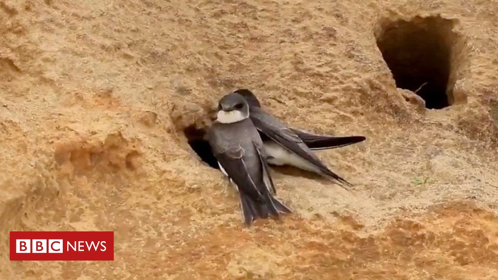 106462160 p076knx0 - Bacton sand martins return to cliff burrows after nets removed