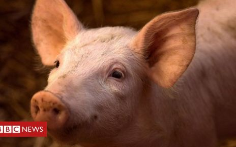 106491073 gettyimages 909260196 - Pig brains partially revived four hours after death