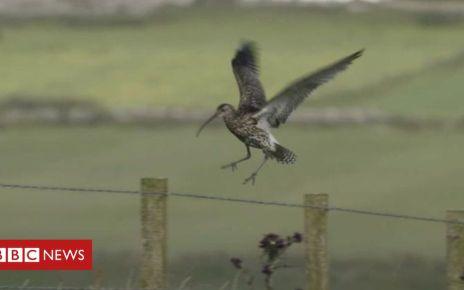 106515674 de28 - Decline in curlew birds as farming 'destroys habitat'