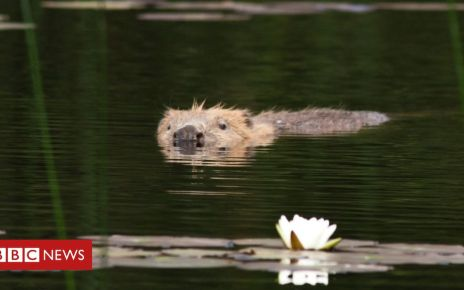 106649939 beaverinknapdaleforeststevegardner - Beavers given protected status in Scotland