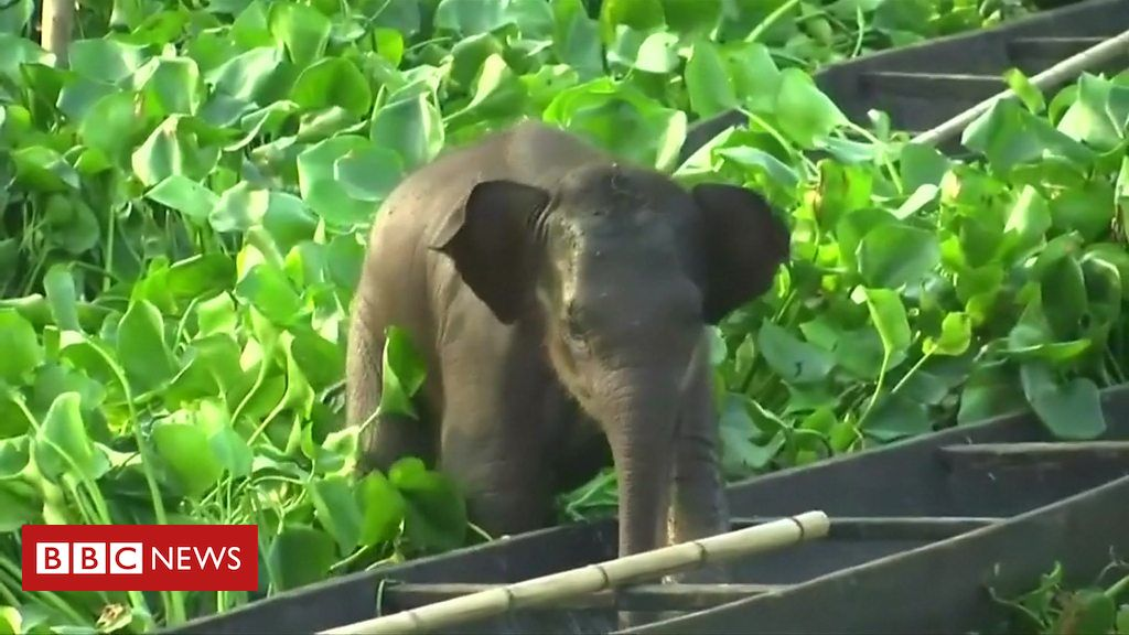 106917497 p078ybk5 - Stranded baby elephant rescued from lake