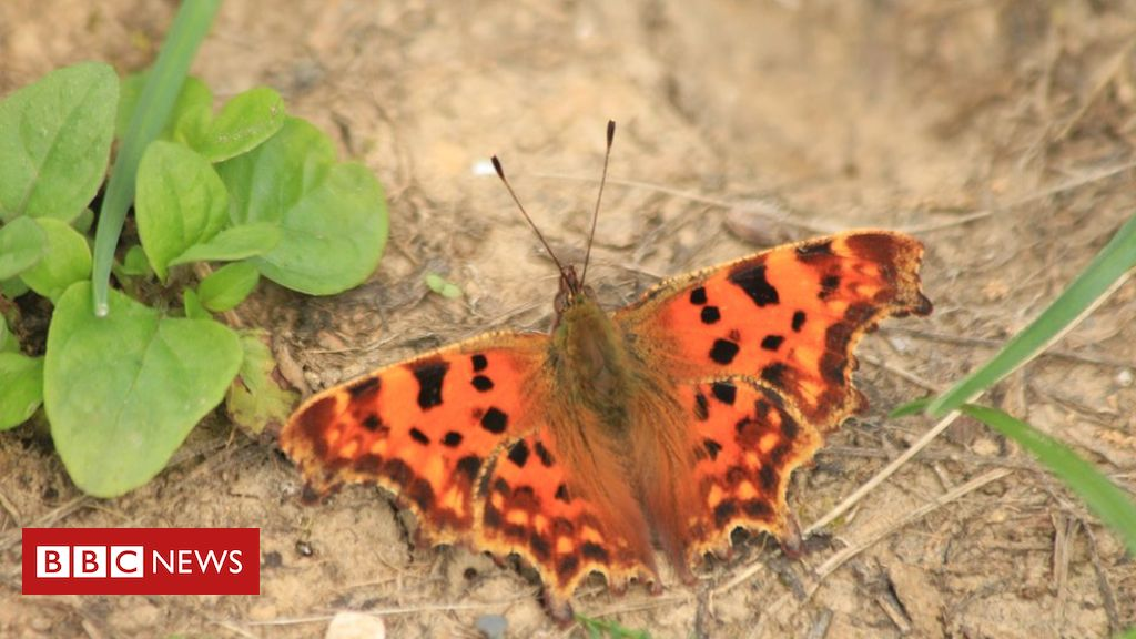 106940021 img 5629comma - Butterfly temperature research 'could boost survival chances'