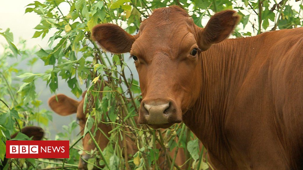 107038211 p079s5yp - How a new diet for gassy cows is helping the environment