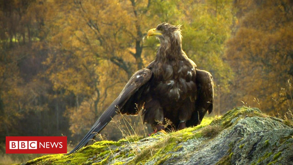 107067516 seaeagle - Scottish trials to stop sea eagles stealing lambs