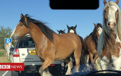 107143368 horsesmichaelcole - Norfolk traffic brought to standstill by escaped horses
