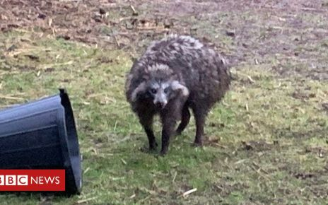 107153721 88aa785a 5572 4dab 8d9e cada13aefc4c - 'Dangerous' raccoon dog escape prompts police warning