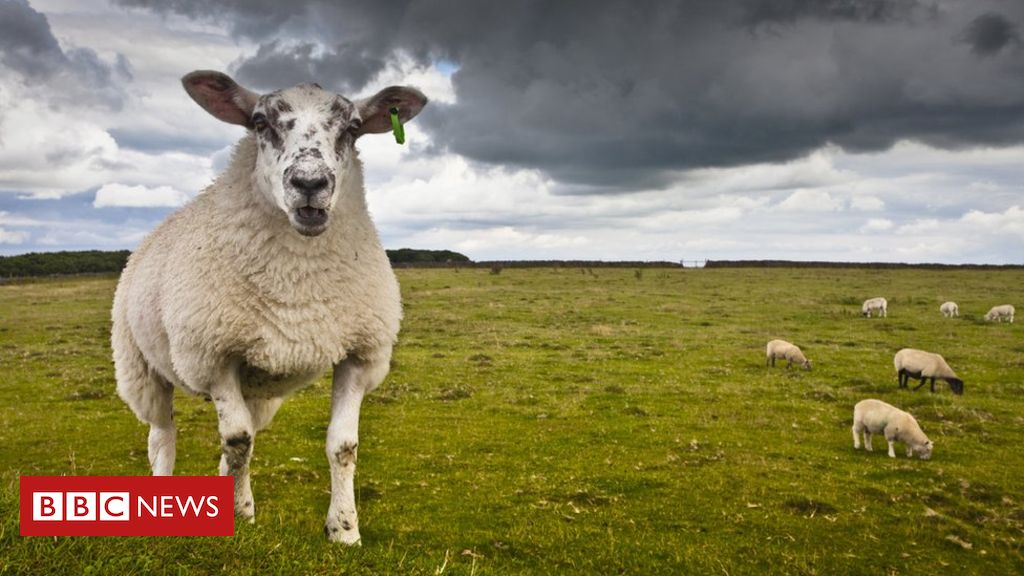 107872788 gettyimages 566428565 - Lambs and sheep 'butchered' in attacks in Northamptonshire