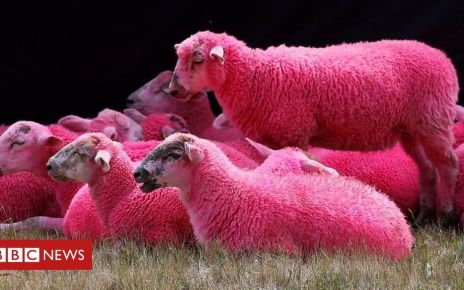 107972591 sheep2 - Latitude Festival: RSPCA critical of pink sheep tradition as pressure grows
