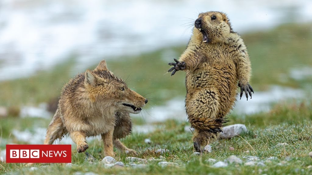 109220227 body yongqing bao - Yikes! Fox and rodent battle is top wildlife photo