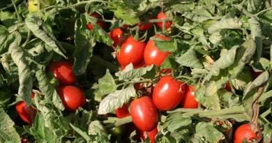 O tomate rasteiro