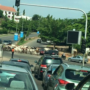 Cars and cows in contest across Nigeria