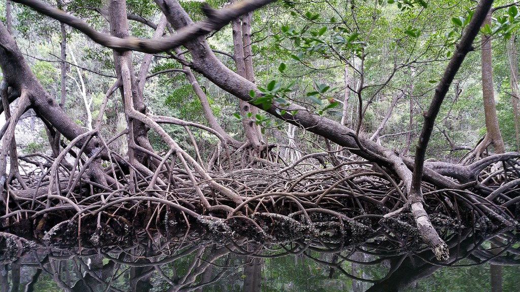 Tangled mangrove roots in Los Haitises National Park, Samana