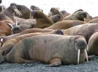 Walrus photographed in the Arctic by Will Stirling