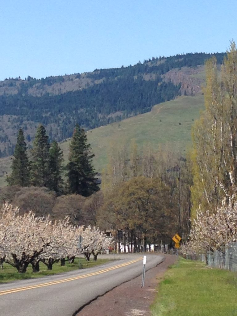 Cherry trees in bloom Hood River Valley