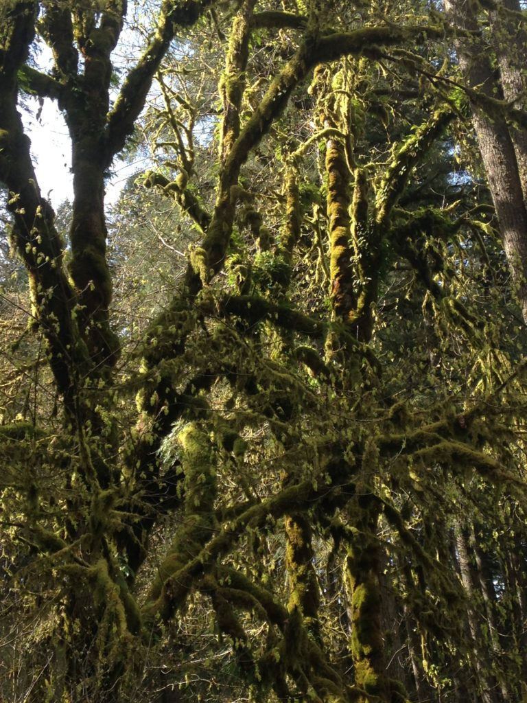 Moss laden trees-Silver Falls State Park