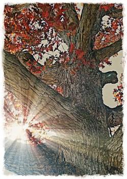 Bur oak, Oak Meadows, Keokuk.