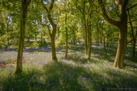 6-bluebell-wood