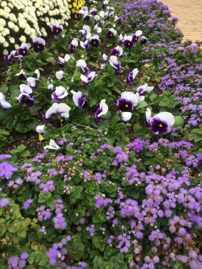 Pansies and ageratum before the rabbits.