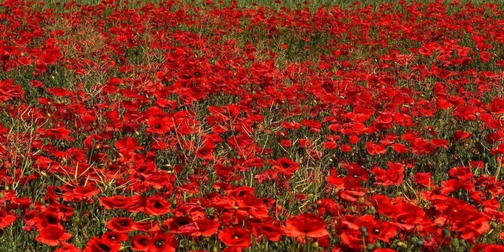 Where the Red Poppy Grows