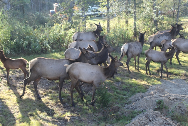 Outback Elk Herd