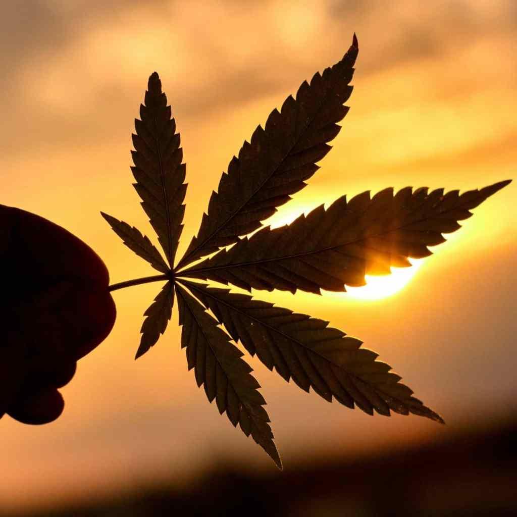 cannabis leave