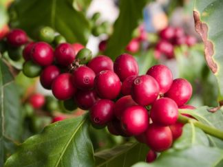 Coffee cherries by Larry Jacbosen, Flickr