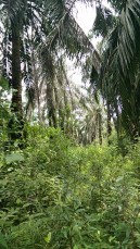 The thinly-foliaged oil palms let in lots of sunlight.