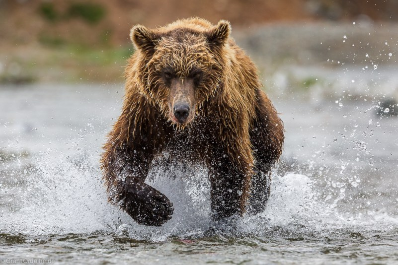 A brown bear chases a salmon in Katmai National Park and Preserve.