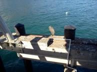 Heron - Malibu Pier