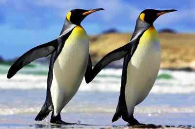 Свидетельства пингвиньего разврата скрывались 50 лет