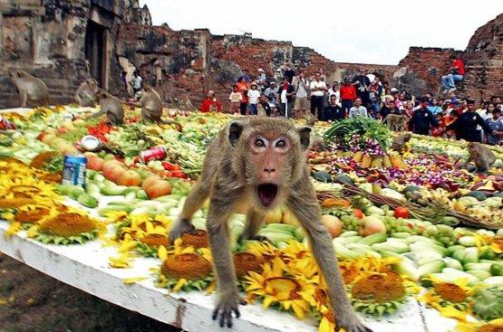 Una scimmia affamata al Monkey Buffet Festival in Thailandia