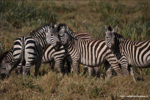 zebre nel parco di Mana Pools in Zimbabwe