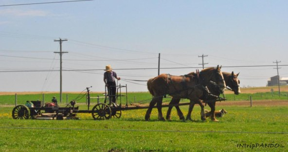 Contadino Amish lavora la terra con aratro