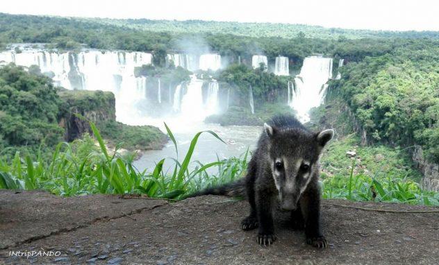 Piccolo coato davanti le cascate di Iguazu