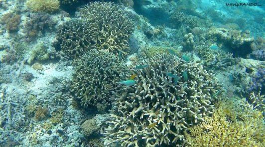 Coralli delle isole Gile