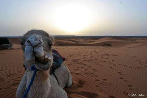 cammello nel deserto di Merzouga
