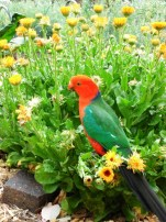 King Parrot gleaning seeds